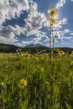 Sunstar и солнцецветы Aspen Стоковое фото RF