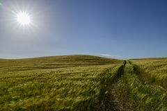 Sunstar bij cornfield Royalty-vrije Stock Afbeeldingen