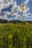 Sunstar e Aspen Sunflowers Fotografia Stock Libera da Diritti