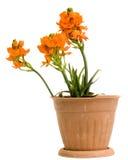 Sunstar Flowers Stock Photography