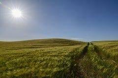Sunstar på en cornfield royaltyfria bilder