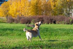 Dogs play with ball and ring. Labrador. Sunstroke, health of pets in the summer. Labrador. Dogs play with his owner, dogs play with ball and ring, dog catches royalty free stock photography