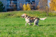 Dogs play with ball and ring. Labrador. Sunstroke, health of pets in the summer. Labrador. Dogs play with his owner, dogs play with ball and ring, dog catches stock images