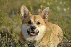 Sunstroke, zdrowie zwierzęta domowe w lecie Corgi pembroke zdjęcie stock