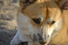 Sunstroke, zdrowie zwierzęta domowe w lecie Corgi pembroke obrazy royalty free