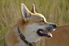 Sunstroke, zdrowie zwierzęta domowe w lecie Corgi pembroke zdjęcia royalty free