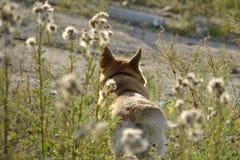 Sunstroke, zdrowie zwierzęta domowe w lecie Corgi pembroke obraz royalty free