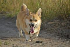 Sunstroke, zdrowie zwierzęta domowe w lecie Corgi pembroke zdjęcia stock