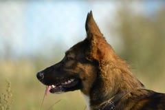 Sunstroke, zdrowie zwierzęta domowe w lecie Dlaczego ochraniać twój psa od przegrzania obrazy stock