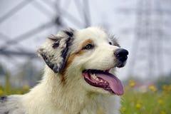 Sunstroke, zdrowie zwierzęta domowe w lecie Młody australijski pasterski pies aussies Dlaczego ochraniać twój psa od przegrzania  zdjęcie royalty free