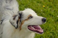 Sunstroke, zdrowie zwierzęta domowe w lecie Młody australijski pasterski pies aussies Dlaczego ochraniać twój psa od przegrzania  zdjęcie stock