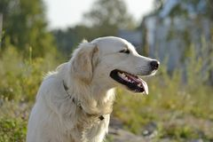 Sunstroke, zdrowie zwierzęta domowe w lecie tła psi szary labradora szczeniaka tyły aporteru widok zdjęcie royalty free