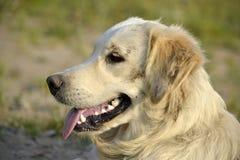 Sunstroke, zdrowie zwierzęta domowe w lecie tła psi szary labradora szczeniaka tyły aporteru widok obrazy royalty free