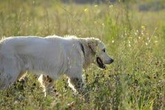 Sunstroke, zdrowie zwierzęta domowe w lecie tła psi szary labradora szczeniaka tyły aporteru widok zdjęcia stock