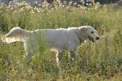 Sunstroke, zdrowie zwierzęta domowe w lecie tła psi szary labradora szczeniaka tyły aporteru widok obraz royalty free