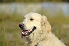 Sunstroke, zdrowie zwierzęta domowe w lecie tła psi szary labradora szczeniaka tyły aporteru widok fotografia royalty free