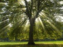sunsycamoretree arkivfoto