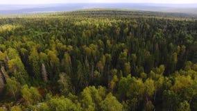 Sunt göra grön träd i skogen av gamla granar och sörjer footage Begrepp av ekosystem och den sunda miljön Bästa sikt av stock video