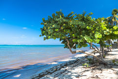 Sunt havsdruvaträd i den tropiska stranden royaltyfri bild