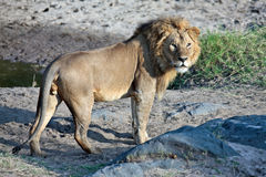sunt lionbarn Royaltyfri Bild