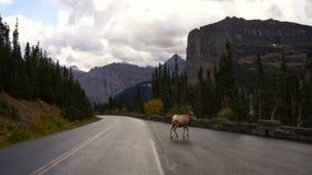 Sunt manligt Ram Bighorn Sheep Crossing Road löst djur Montana stock video
