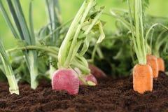 Sunt mogna grönsaker för äta i trädgård royaltyfri fotografi