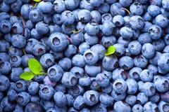 sunt organiskt för bakgrundsblåbärmat Mogen blåbärcloseup fotografering för bildbyråer