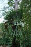 Sunt parasitväxtträd Arkivfoton
