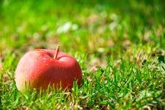 Sunt rött äpple fotografering för bildbyråer