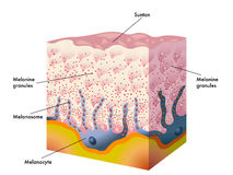Suntan. Medical illustration of the formation process of tanning Stock Image