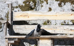 Suntanning crow Stock Photography