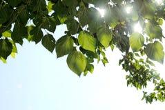 Suntwinkling durch die Mittelmeerblätter Stockfotos