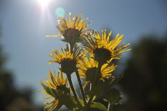 Sunview. Yellow flowers raising against the sun Stock Images