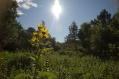Sunview. Yellow flowers raising against the sun Royalty Free Stock Photography