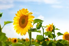 Sunward Sunflower. Bright yellow, very healthy sunflower outgrowing its neighbour sunflowers, set against a background of a fresh blue summer sky with fluffy Stock Photography