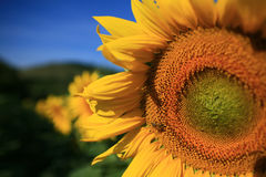 Sunwards em segundo Imagem de Stock Royalty Free