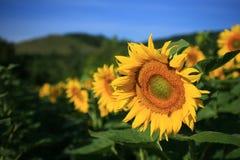 Sunwards primeiramente Imagem de Stock Royalty Free