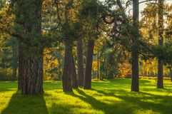 Suny pine forest. Sunny pine forest with old pine trees and fresh green grass stock images