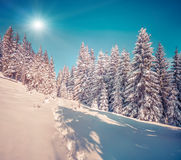 Suny winter scene in the mountain forest Stock Photo