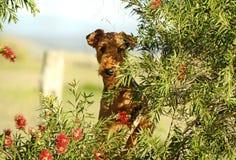 Suo una vita dei cani Grande Airedale allegro insolente Terrier che gioca sull'azienda agricola del paese immagine stock
