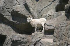 Suo una vita delle capre immagini stock libere da diritti