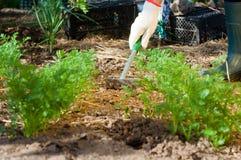 Suolo di rastrellamento della mano dell'agricoltore vicino a prezzemolo Fotografia Stock