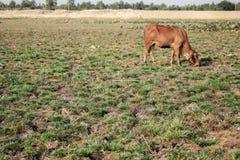 Suolo e mucca aridi con luce solare Immagine Stock Libera da Diritti