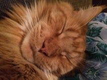 Suono di sonno amato micio di Anazing sicuro Fotografia Stock Libera da Diritti