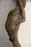 Supłający bluszcza trzon przeciw ścianie Obraz Royalty Free