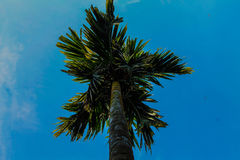 Supari-Baum Lizenzfreie Stockfotografie