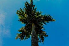 Supari drzewo Fotografia Royalty Free