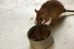 Super Aanbiddelijke Muizen die Rijst door uiterst klein Tin Can eten - weinig hand royalty-vrije stock foto