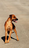 Rhodesian Ridgeback big dog Royalty Free Stock Photography