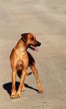 Rhodesian Ridgeback big dog royalty free stock photography